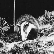 Ground Penetrating Radar for Badgers