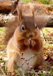 Red Squirrel Conservation